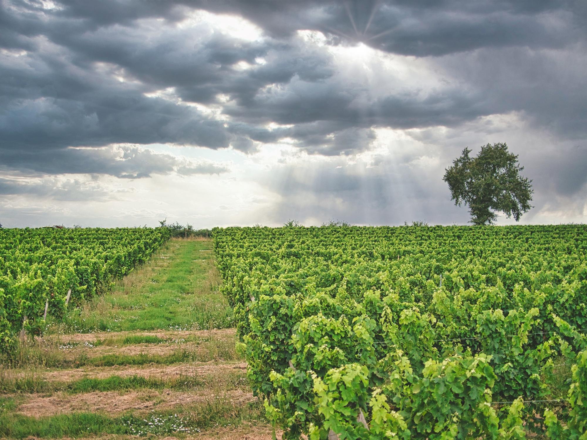 Le vignoble - Latorse